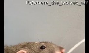 Pet Rat Needs to Charge it's Phone