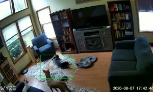 Dogs Destroy a Down Pillow While Owners Are Gone