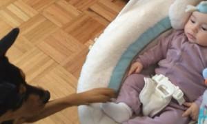 Dog amazingly trained to rock baby to sleep