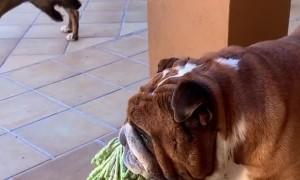 Galgo vs bulldog 😅😅😅 I think my brother @macho_english_bulldog is the boss