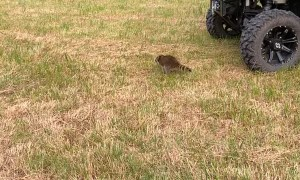 Raccoon Runs into a Wheel