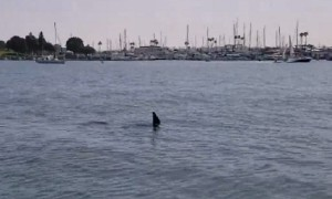 Sea lion does it's best impression of a shark