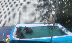 Bears Stop by for a Backyard Swim