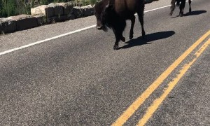 Bunch of Bison Running Down the Road