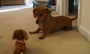 Dachshund puppy meets toy look-alike and it's too adorable