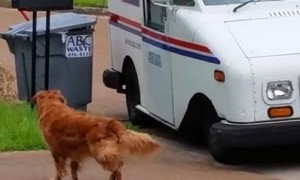 Golden Retriever dog waits patiently to pick up the mail
