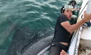 Friendly Whale Shark Causes Skittish Man to Cling to Boat