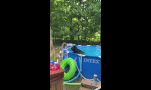 Black Bear Takes a Dip in the Pool