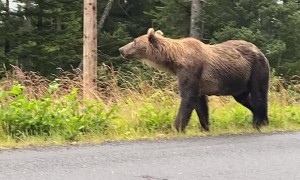 Mama Bear and Three Cubs Wander Along Road