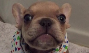 French Bulldog puppy adorably says