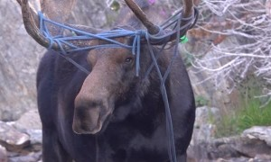 Rope Has Moose in a Tangle
