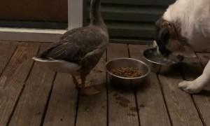 Goose and Dog Enjoying Dinnertime Together