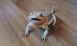 Bearded dragon does a happy dance after getting to eat blueberries
