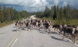 Herd of reindeer take over road and block traffic
