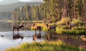 Elk Herd Wander into Beautiful Rock Mountain Sunrise