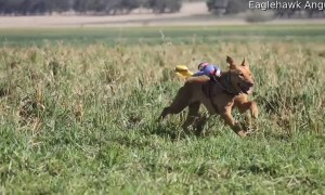 Miniature Cowboys Go for a Ride on Cattle Dogs