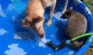 Young Raccoon Plays with Pooch in Pool