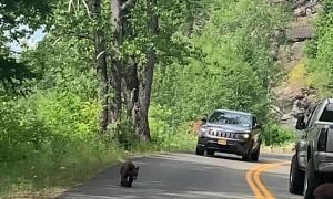 Mama Bear and Cubs Stop Cars