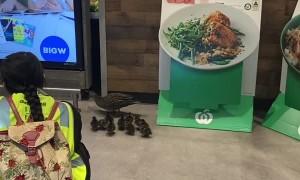 Family of Ducks Stroll through Shopping Center