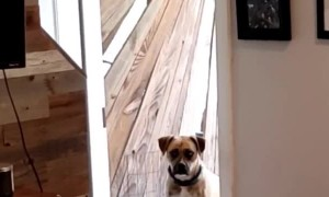 Clever Boxer Learns to Close the Door when She Comes Inside