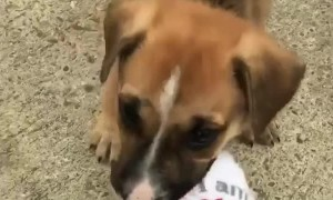 Cute little puppy chews on owner's sock