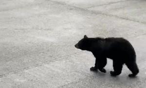 Crafty Bear Climbs into Trash Can