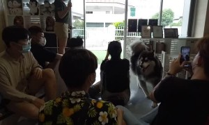 Huskies Rush into Customers in a Dog Cafe