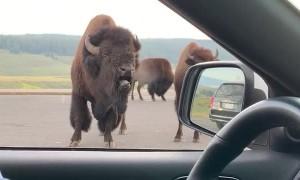 Bossy Bison Grunts at Park Visitors