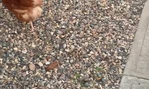 Cat Stalks Random Chicken Across the Road