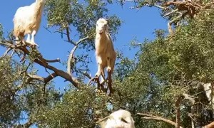 Rare 'Goat Tree' Captured in Morocco