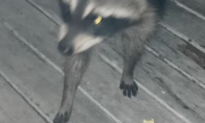 Raccoon Tries Popcorn for the First Time