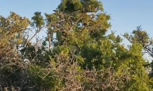 Enormous Rattler Rests atop Tree Branch