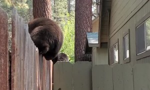 Baby Bears Balance on Fence