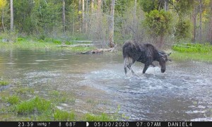 Moose Pool Party