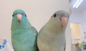 Two amazing parrots performing a song for the camera