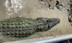 Crocodile Enjoys a Good Back Scratch