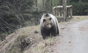 Big Bear Blocks Road for Rider