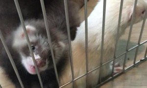 Ferret Babies Playfully Nibble on a Finger