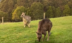 Eastern Grey Kangaroos Keep the Lawn Trimmed
