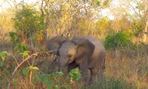 Baby elephant attempts to show off its mean side