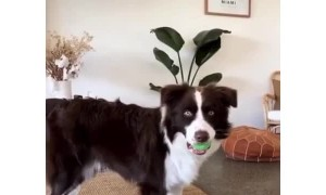 Dog performs the most dramatic ball drop ever