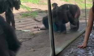 Monkeys Pummel Raccoon That Wandered into Enclosure
