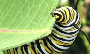 Caterpillar Munches on Milkweed