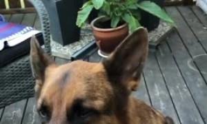 Dog eats corn on the cob just like a human