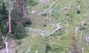 Bear Stalks and Catches Elk