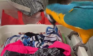Macaw Messes Up a Basket of Folded Laundry