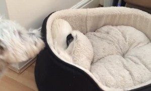 Terrier Dogs Play Hilarious Game of Peek-a-Boo