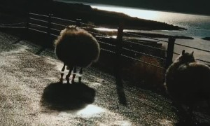 Bouncing Sheep in Iceland