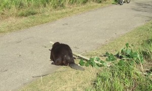 Courteous Beaver Has Wonderful Roadside Manners