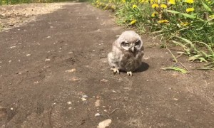 Adorable baby owl goes for a walk